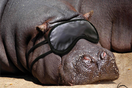 Sleeping Hippo Animal Advertisement