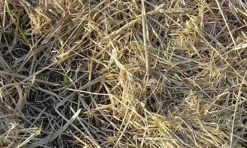 Strewn Hay New Grass Texture